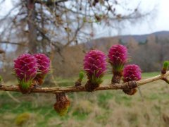 15-European-Larch-Flowers-An-Camus-Mor-Walk-050414.JPG